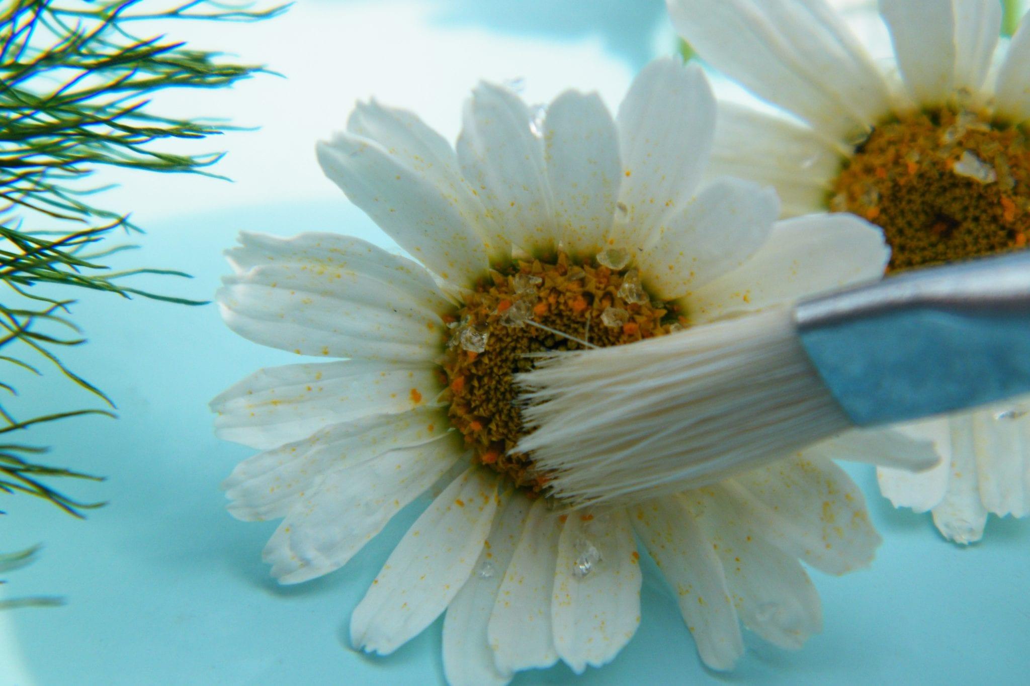 brushing silica gel off dried daisy