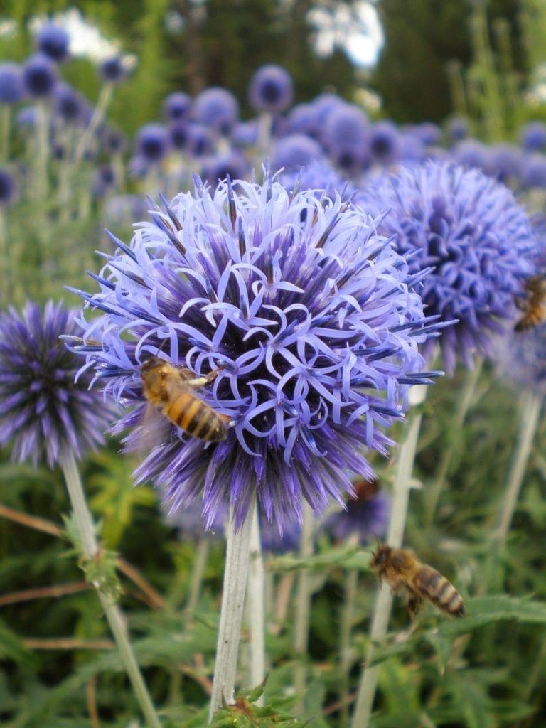 echinops bees