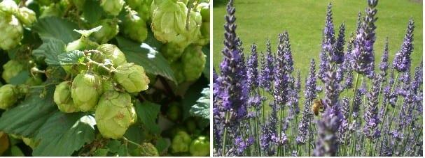 lavender hops