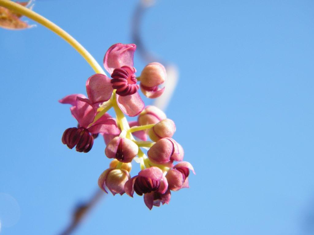 akebia garden flowers sunshine