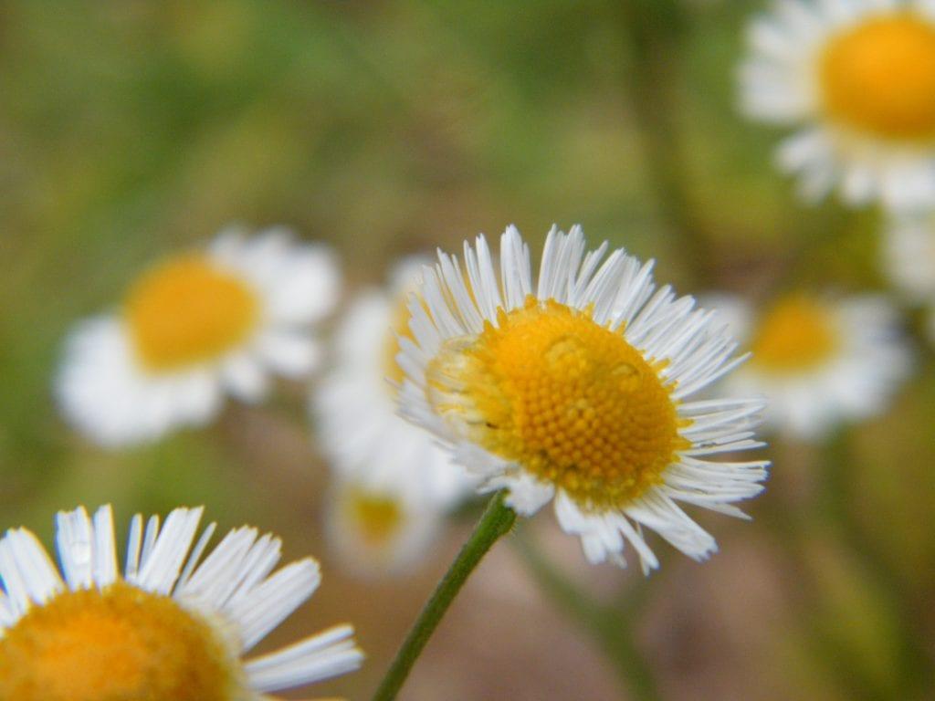 florida daisy flower