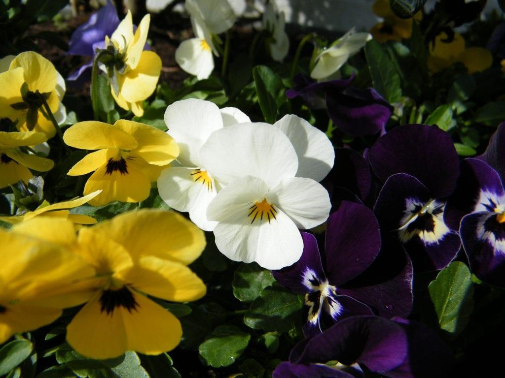 garden flowers violas