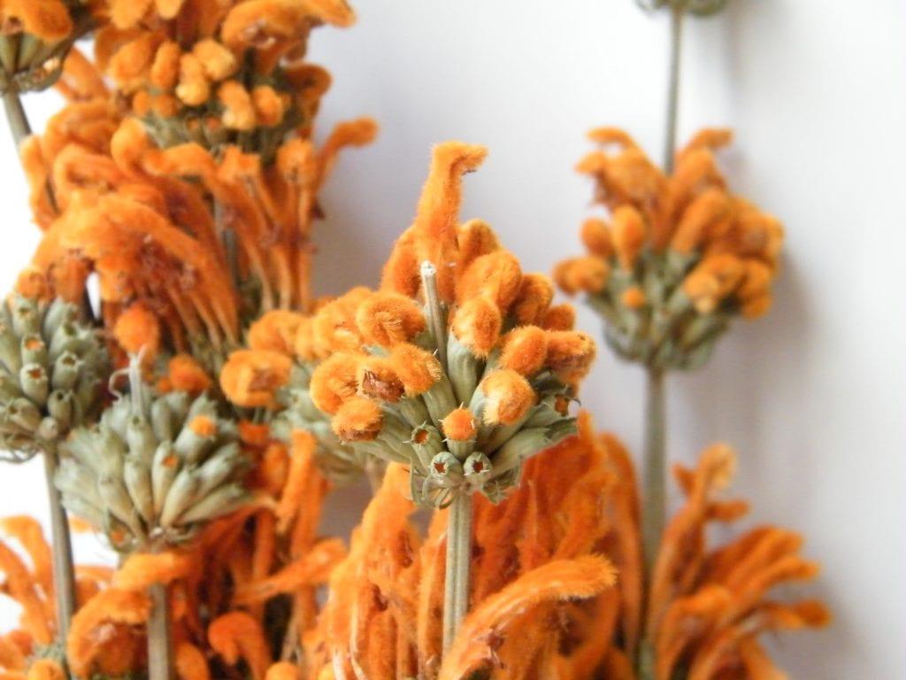orange dried flowers leonotis flowers
